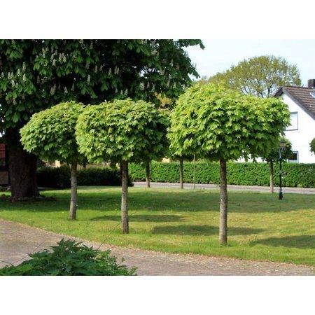 Alberi da giardino in offerta confronta prezzi giardinaggio - Alberi particolari da giardino ...